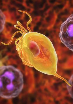 3D-Grafik von Trichomonas vaginalis