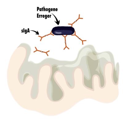 Schleimhaut, sIgA und Bindung von Pathogenen grafisch dargestellt