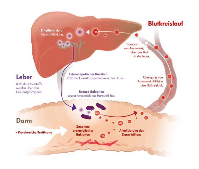 Infografik mit Darm, Leber und enterohepatischem Kreislauf