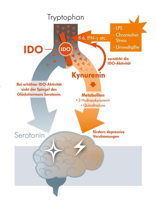 Infografik Tryptophan zu Kynurenin
