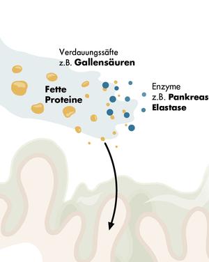 Nährstoffe, Gallensäuren und Verdauungsenzyme skizziert