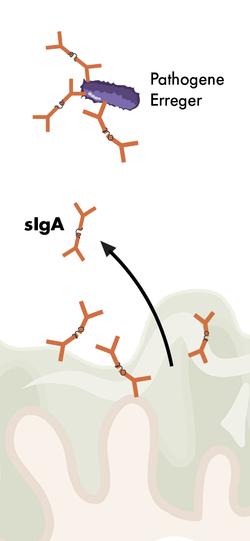 Zeichnung mit sIgA und pathogenen Erregern