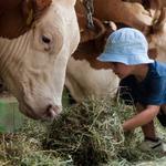 kleines Kind füttert Kühe