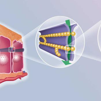3D-Grafik von Schleimhautzellen und Tight Junctions