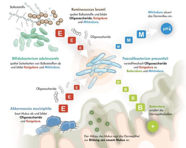 Infografik mit Faecalibacterium prausnitzii und Akkermansia muciniphila