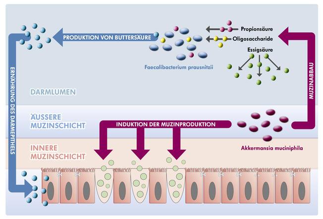 Schaubild Kreislauf Akkermansia Faecalicacterium